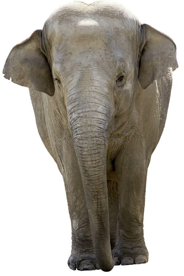Elefante asiático fotografia de stock