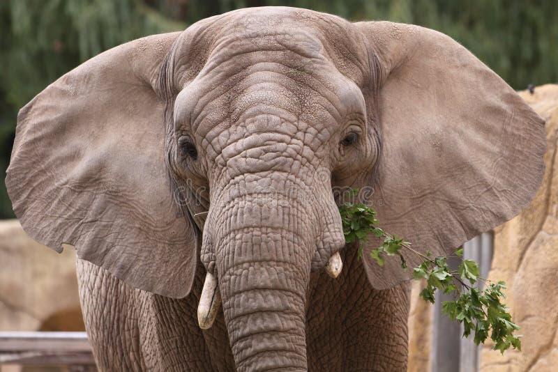 Elefante asiático imagens de stock