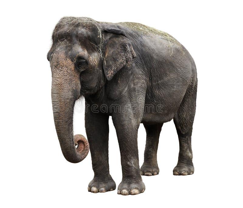 Elefante asiático foto de archivo