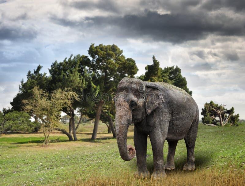 Elefante asiático imagenes de archivo