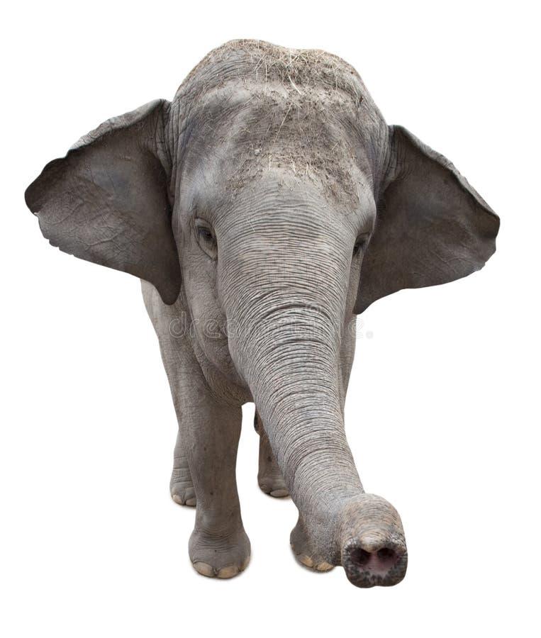 Elefante asiático imagem de stock royalty free