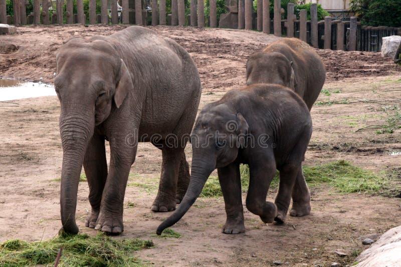 Elefante asiático, asiático, indio con el becerro del bebé fotografía de archivo libre de regalías