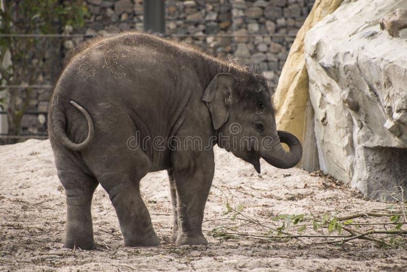 Elefante asiático del bebé imagen de archivo libre de regalías