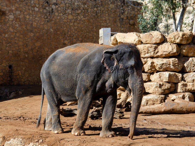 Elefante asiático en el parque zoológico fotografía de archivo