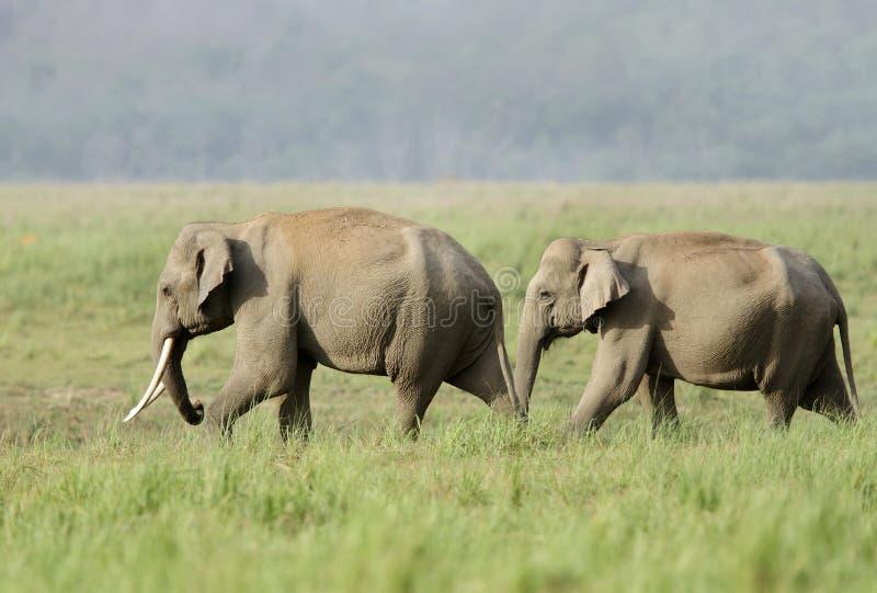 Elefante asiático en el prado fotos de archivo libres de regalías