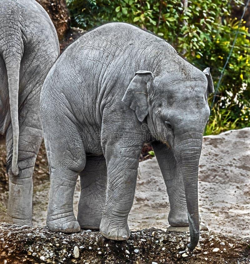 Elefante asiático joven imagenes de archivo