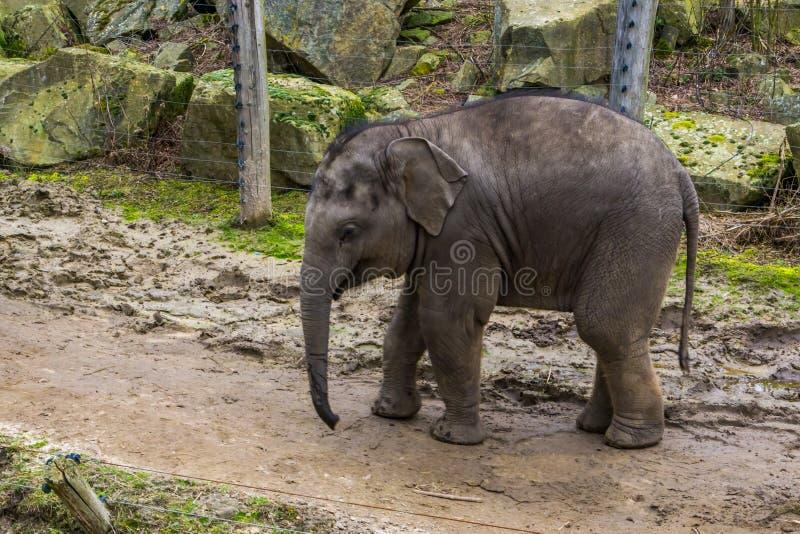 Elefante asiático juvenil lindo en el primer, retrato de un becerro del elefante, animal en peligro de Asia fotografía de archivo libre de regalías
