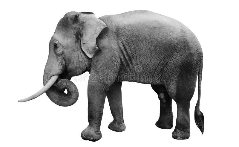 Elefante asiático masculino aislado, imágenes de archivo libres de regalías