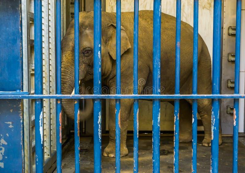 Elefante asi?tico masculino enjaulado con los colmillos, elefante detr?s de las barras, animales en cautiverio fotos de archivo