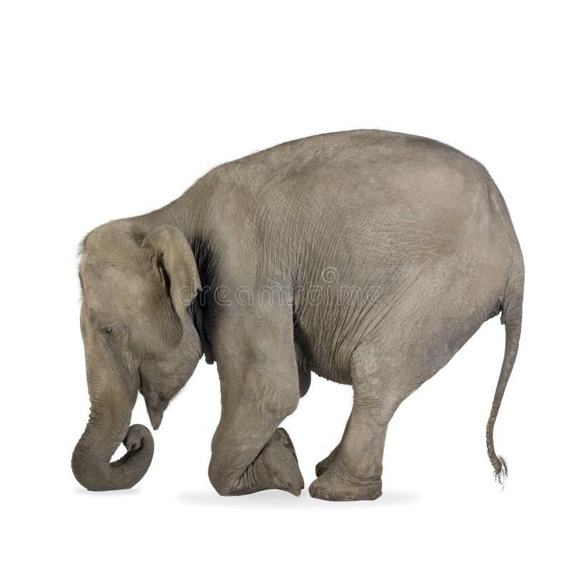Elefante asiático - maximus do Elephas (40 anos) imagem de stock royalty free