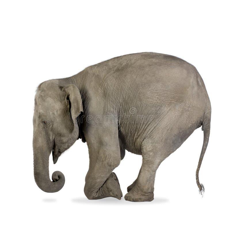 Elefante asiático - maximus do Elephas (40 anos) fotografia de stock royalty free