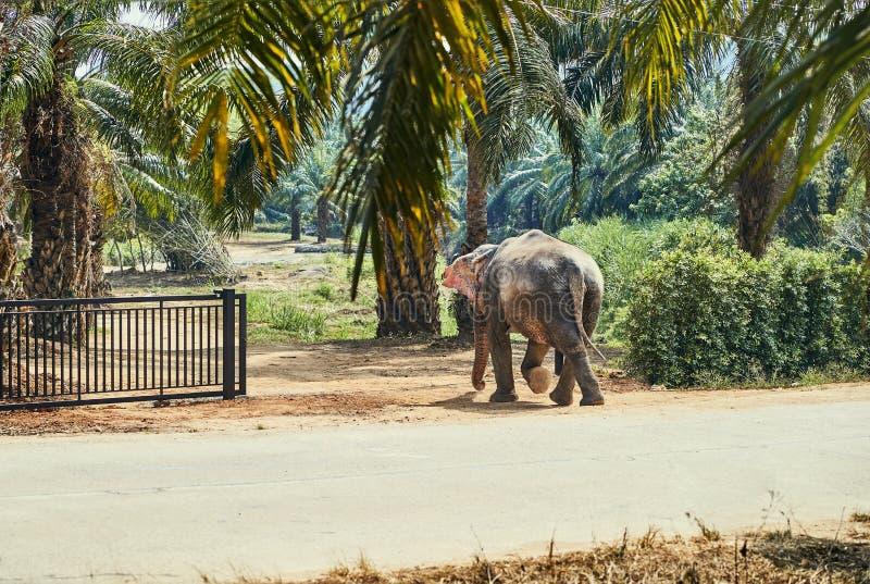 Elefante asiático que anda através de uma porta em um santuário animal imagem de stock