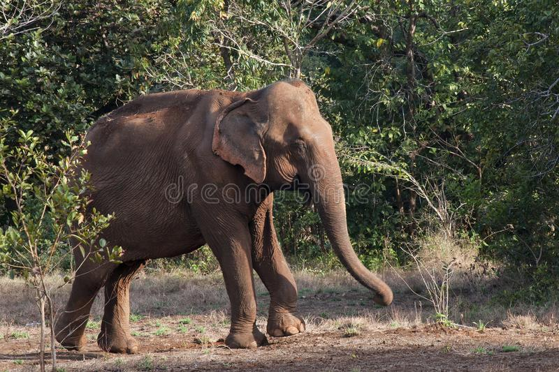 Elefante asiático que emerge de bosque imagenes de archivo