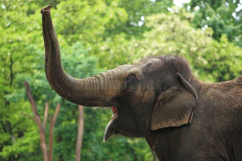 Elefante asiático rujir imagens de stock royalty free