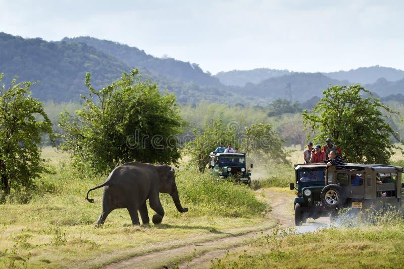 Elefante asiático selvagem no parque nacional de Minneriya, Sri Lanka imagem de stock royalty free