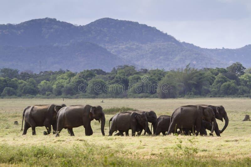 Elefante asiático selvagem no parque nacional de Minneriya, Sri Lanka fotografia de stock royalty free