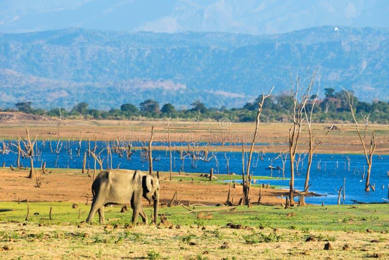 Elefante asiático solitário imagens de stock royalty free