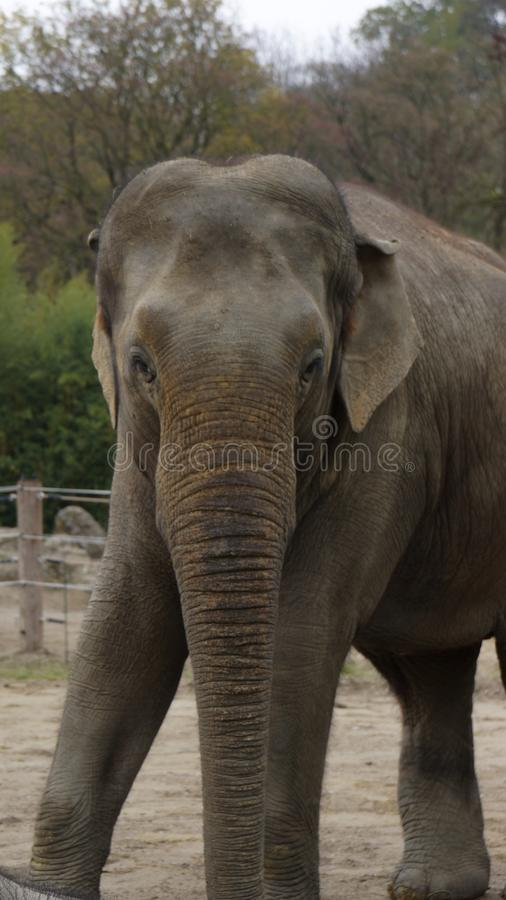 Elefante asiatico che esamina macchina fotografica fotografia stock