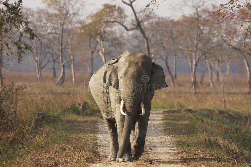 Elefante asiatico enorme del Bull a Kaziranga fotografia stock libera da diritti