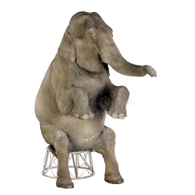 Elefante asiatico - maximus del Elephas (40 anni) fotografie stock