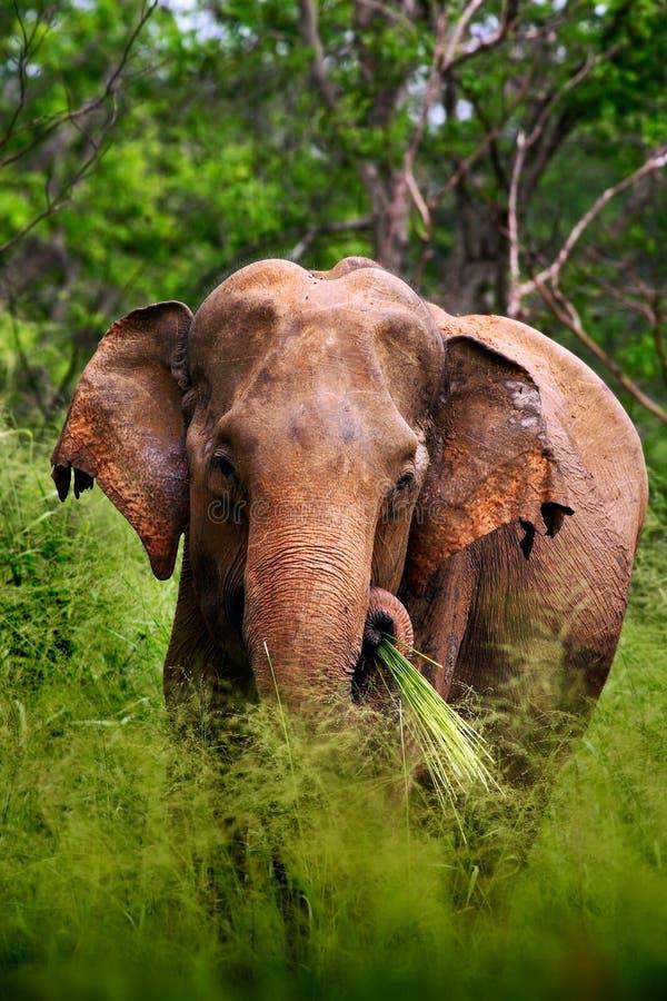 Elefante asiatico, maximus di elephas maximus, con erba verde nel tronco, grande mammifero nell'habitat della natura, Yala Pakr n immagini stock libere da diritti