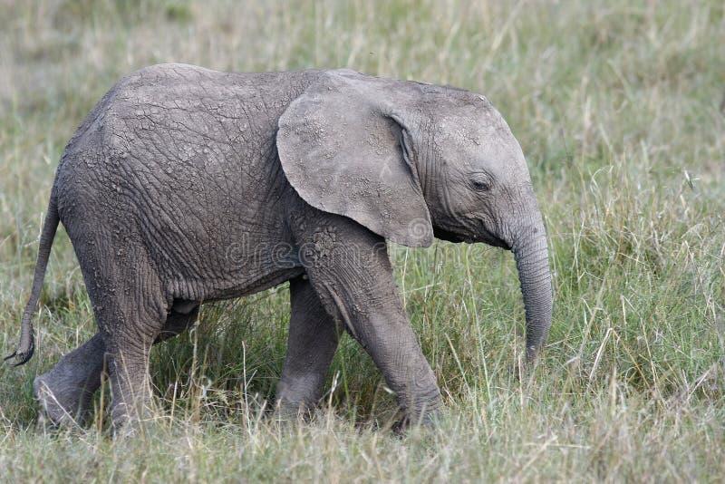 Elefante bonito do bebê que anda na grama no savana africano fotografia de stock royalty free