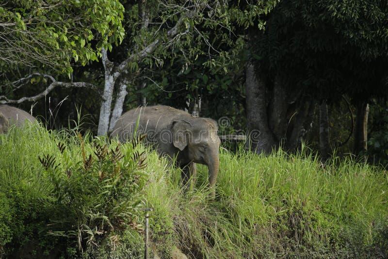 Elefante Bornéu do pigmeu fotos de stock