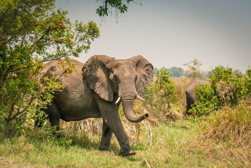 Elefante Botswana foto de stock