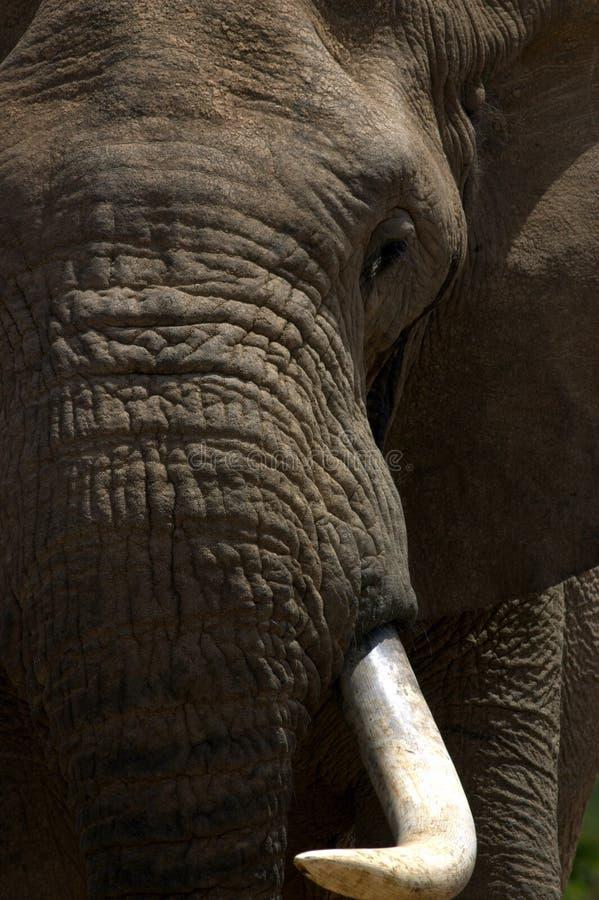 Elefante Bull em Musth foto de stock