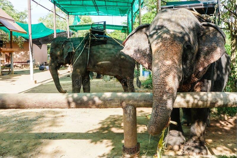 Elefante capturado en corral Parque zoológico animal en Tailandia foto de archivo