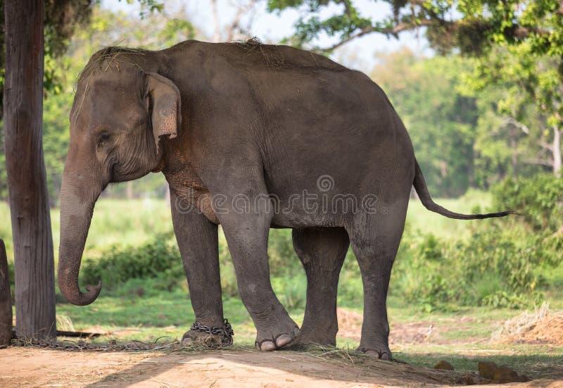 Elefante in catene fotografie stock