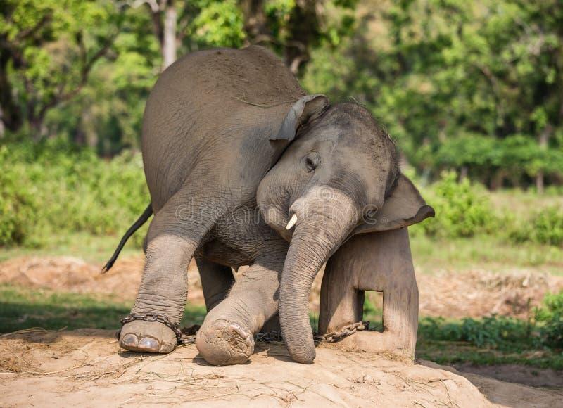 Elefante in catene fotografia stock libera da diritti