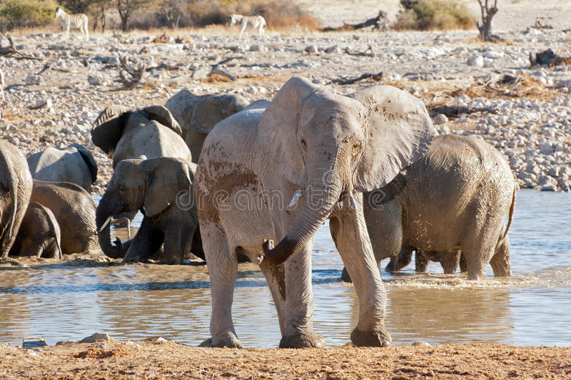 Elefante cerca del waterhole fotografía de archivo