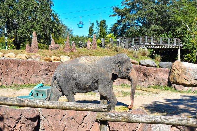 Elefante che cammina ai giardini Tampa Bay di Bush immagini stock