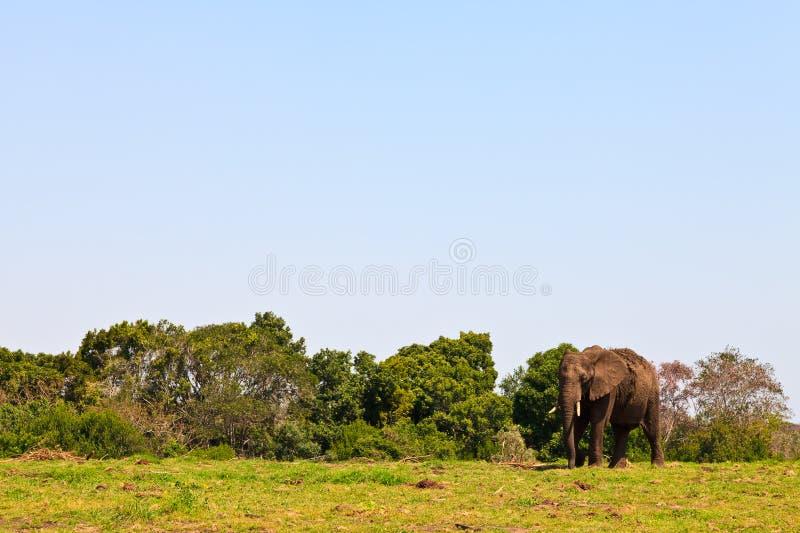 Elefante che cammina sul pascolo fotografie stock