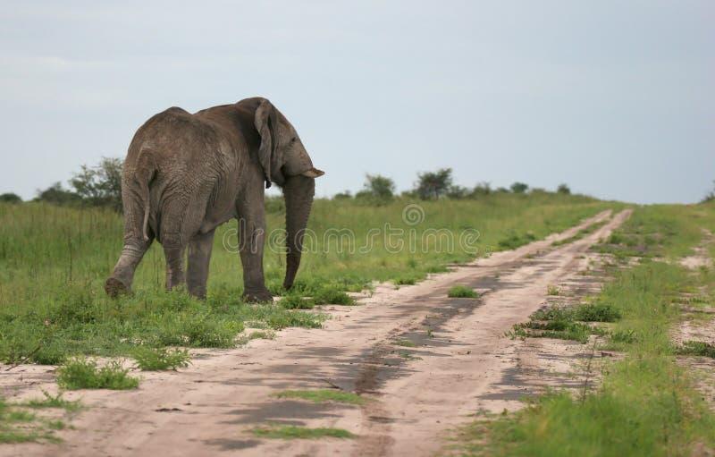 Elefante che cammina via fotografia stock
