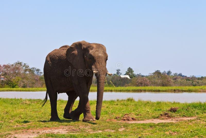 Elefante che cammina vicino all'acqua fotografia stock libera da diritti
