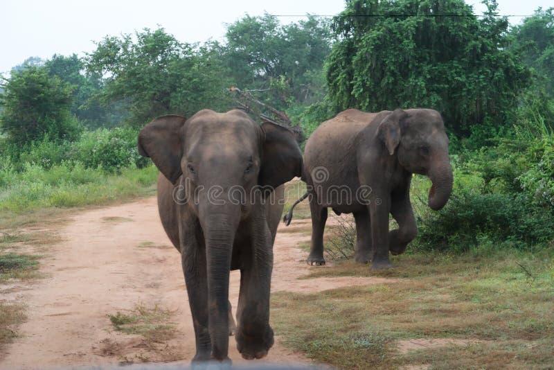 Elefante che fa pagare verso Safari Car nel parco nazionale del udawalawe, Sri Lanka fotografie stock