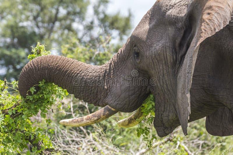 Elefante che mangia le foglie nel parco di Kruger fotografia stock
