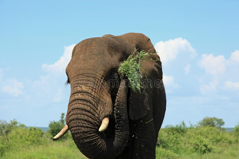 Elefante che mangia pranzo fotografie stock