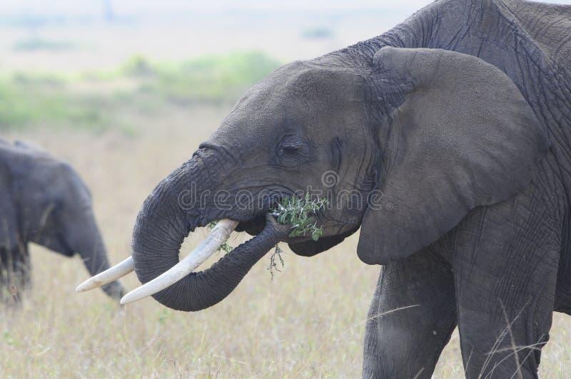 Elefante che mangia sul Serengeti fotografia stock