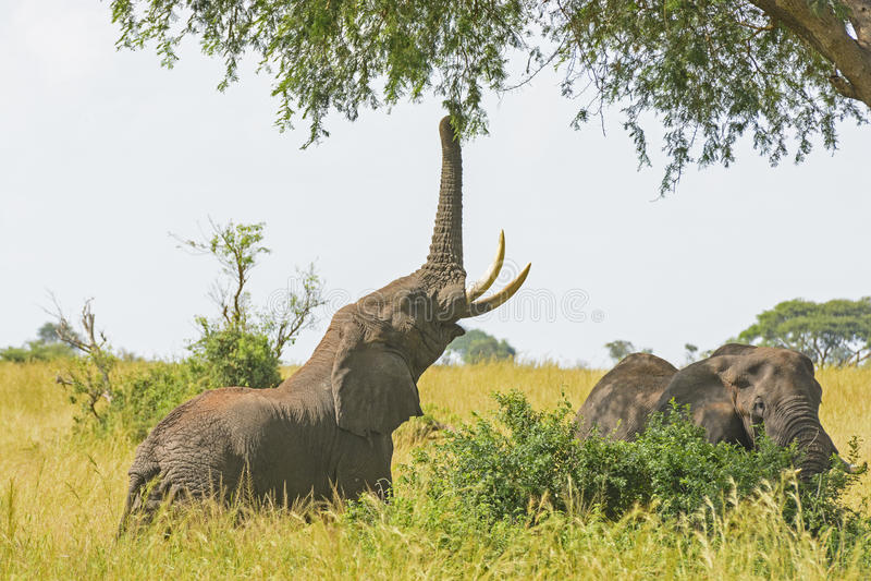 Elefante che ottiene alimento da un albero dell'acacia fotografia stock libera da diritti
