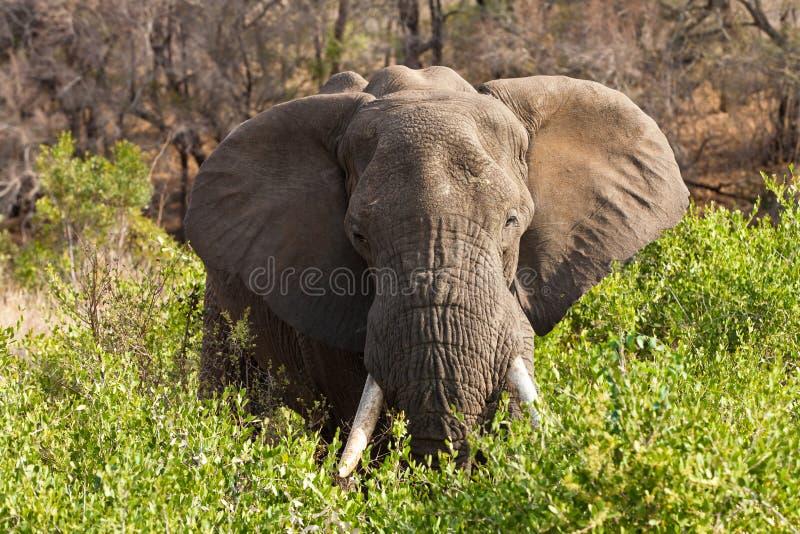 Elefante che si leva in piedi fra i cespugli immagini stock libere da diritti