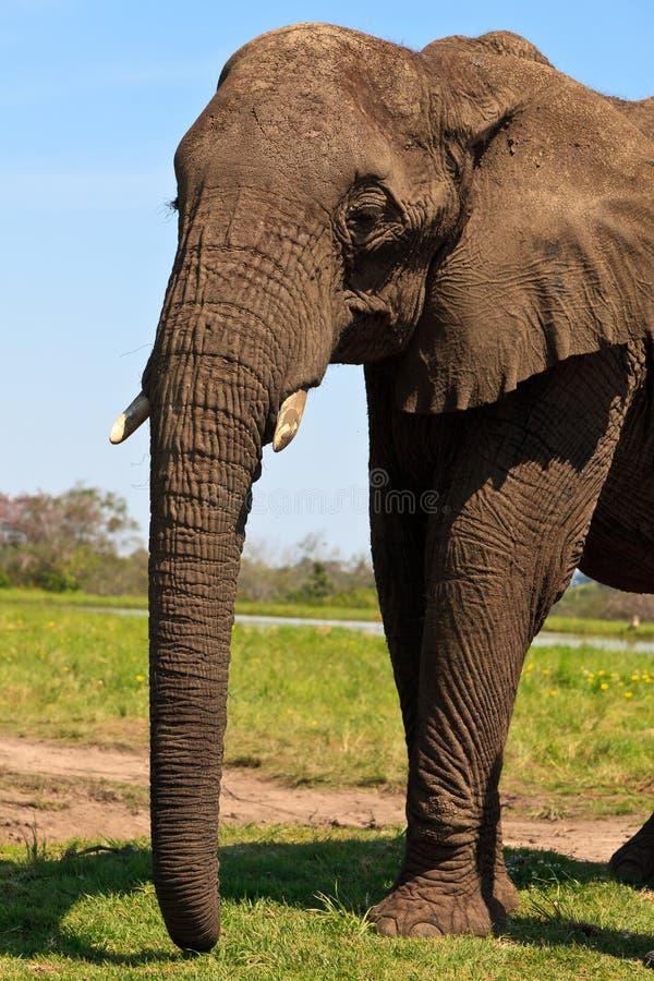 Elefante che si leva in piedi sull'erba immagini stock
