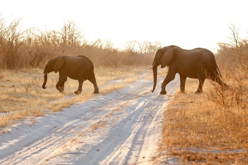Elefante - Chobe N P Botswana, África fotografía de archivo