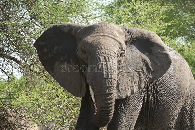 Elefante cobrando zombado imagens de stock royalty free