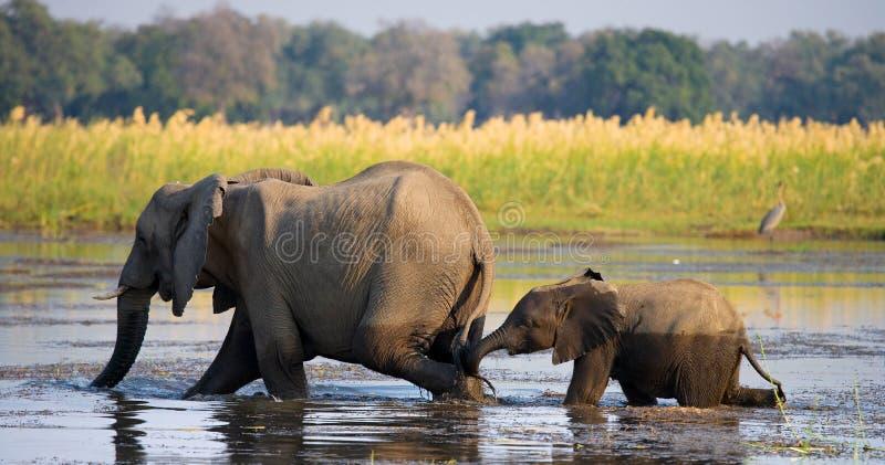 Elefante con el bebé que cruza el río el Zambeze zambia Baje el parque nacional del Zambeze El río Zambezi imagenes de archivo