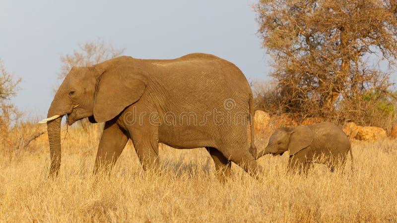 Elefante con el becerro imagenes de archivo