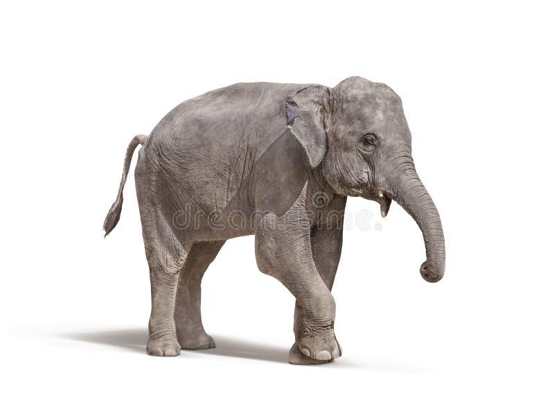 Elefante Con Hacia Fuera El Colmillo Aislado En El Fondo Blanco ...
