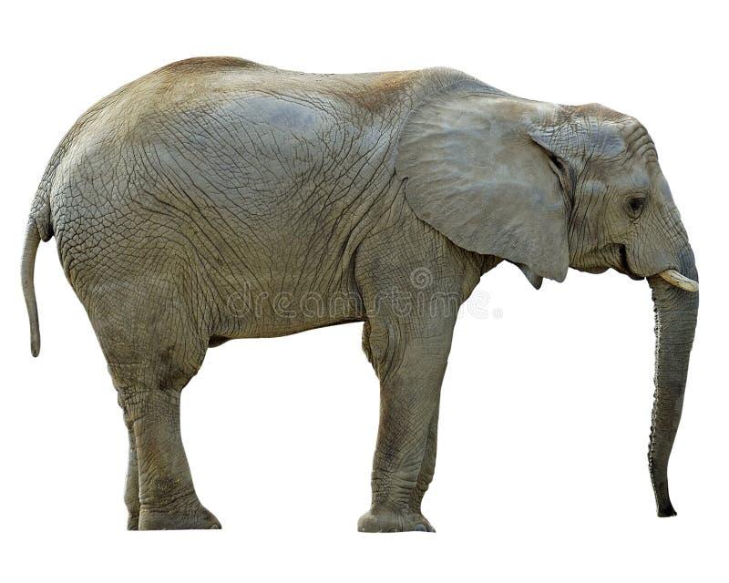 Elefante con i percorsi fotografia stock